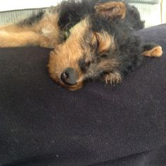 Airedale puppy. I would have to wake him up and attack him!!!