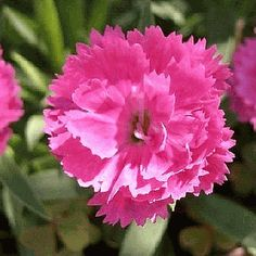 Everwilde Farms - 2000 Chinese Pink Wildflower Seeds - Gold Vault Jumbo Seed Packet *** Discover this special product, click the image : Gardening Flowers