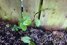 MORNING GLORY/BINDWEED   ...April showers interspersed with soil-warming blasts of spring sunshine create an ideal environment for the rise of the living dead — that ever despised perennial weed known to some as Morning Glory, Bindweed to others, and The Bitch in our garden.  And, yeah, The Bitch is back.