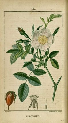 img/dessins-gravures de plantes medicinales/eglantier, rosier des haies, rosier sauvage.jpg