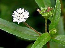 Health Benefits Of Eclipta Alba , Health Benefits of  Bhringaraj , Bhringaraj benefits