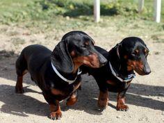 Photo by: Johnny Ortez-Tibbels Black Dachshund, Dapple Dachshund, Long Haired Dachshund, Mini Dachshund, Dachshund Puppies, Corgi Dog, Chihuahua Dogs, Dog Cat, Daschund