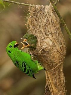 The Green Broadbill (Calyptomena viridis) is distributed in broadleaved evergreen forests of Borneo, Sumatra and the Malay Peninsula. Kinds Of Birds, All Birds, Love Birds, Exotic Birds, Colorful Birds, Pretty Birds, Beautiful Birds, Animal Original, Bird Watching