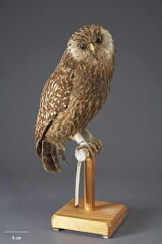 Laughing owl. Mounted bird from Te Papa collection. extinct