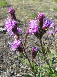Blazing Star, Cylindrical (Liatris cylindracea) • Family: Aster (Asteraceae) • Habitat: open sites with dry, sandy soil; fields, thickets, and sand dunes • Height: 2-5 feet • Flower size: tiny flowers in heads 3/4 to 1 inch across • Flower color: reddish-purple • Flowering time: August to September