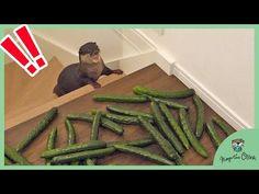 (2) 大量のきゅうりvsカワウソのビンゴとベル Tons of cucumber vs Otter Bingo&Belle - YouTube Otters, Bingo, Cucumber, Youtube, Otter, Cauliflowers, Youtubers, Zucchini