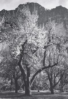 1938 Glacier Point, Spring, Apple Blossoms by Ansel Adams 84.91.151