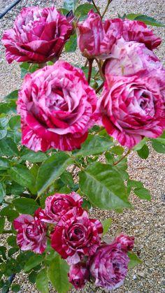 Minhas rosas.