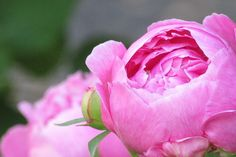 Annual Photo Contest 2014 | Pink Poeny