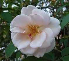 Reve D'Or-China rose,c.1869,fragrant;Earthkind Class(means its easy to cultivate,disease & heat resistant)
