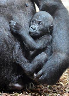 El bebé gorila de Moja | Cabárceno - Cantabria