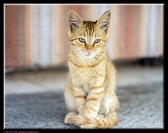 Thoughtful cat by Giancarlo Gallo