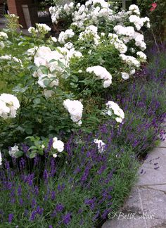 rosa iceberg and lavanda hidecote - All For Garden Landscaping With Roses, Front Yard Landscaping, Front Gardens, Outdoor Gardens, Townhouse Garden, Backyard Plants, Italian Garden, Garden Cottage, Garden Pictures