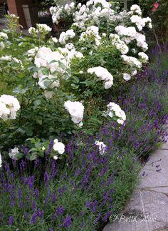 rosa iceberg and lavanda hidecote - All For Garden Front House Landscaping, Outdoor Landscaping, Front Gardens, Outdoor Gardens, Landscape Design, Garden Design, Townhouse Garden, Backyard Plants, Italian Garden