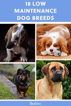 Excellent Pics low maintenance Dog Breeds Tips : Need to learn more about various pet brings out? There are presently over 200 several Crate Clb identified pet varietie Dogs And Kids, Animals For Kids, Cute Animals, Animals Dog, Best Family Dog Breeds, Best Dog Breeds, Low Shedding Dogs, Calm Dog Breeds, Best Dogs For Families