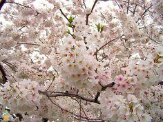 Yoshino Cherry Tree for Sale | The Planting Tree
