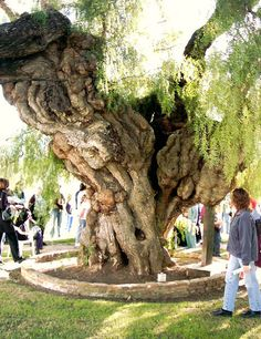 Oceanside, CA : San Luis Rey Mission - state's oldest pepper tree - enchanted!