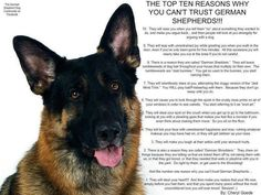 Top 10 reasons why you can't trust a German Shepherd    -I love #10, been there!