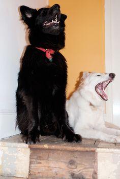 GSDs-Jasper & Lyra