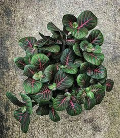 """Cto mykabonbon. Fittonia is a genus of perennial plants belonging to the Acanthaceae family. The plants of this genus are native to the rainforests of South America (Colombia and Peru). They are most often called by their Latin name """"Fittonia"""", """"Nerve plants"""" or """"Mosaic plants"""". These pretty little indoor plants are perfect for tabletops, hanging baskets, and terrariums. The patterned foliage of these trailing, drooping houseplants is very striking with oval, deep-green leaves arranged in…"""