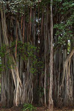 [Árboles de Baniano] > [*- Baniano: una higuera india cuyas ramas producen raíces aéreas que más tarde se convierten en troncos accesorios. Un árbol maduro puede cubrir varios acres de esta manera.]