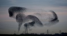 Starling migration, UK During the autumn and winter, huge black clouds form in the skies of the UK. But these aren't rain clouds, they are in fact large formations of migrating Starlings known as murmurations. The reaction on the ground isn't always overly enthusiastic.