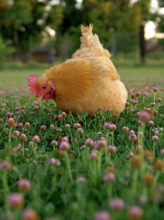 Chicken grazing on clover blossoms.
