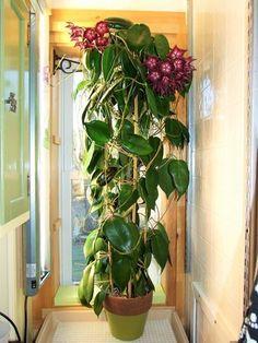 Hoya macgillivrayi - Flor de Cera