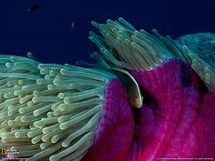 beautiful sea anemone | Download Wallpaper (1600 x 1200 pixels)