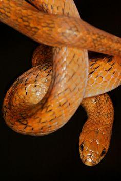 Golden Kukri Snake. 紫棕小頭蛇 Oligodon cinereus cinereus . Colubridae, Non-venomous.