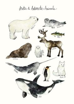 'Arctic & Antarctic Animals' Poster by Amy Hamilton Arctic Animals, Arctic Fox, Baby Animals, Wale, Animal Posters, Snowy Owl, Watercolor Animals, Art Plastique, Polar Bear