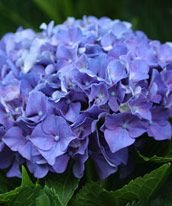 Pruning Hydrangeas - Fine Gardening Article