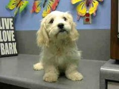 #A443272 (Moreno Valley CA) male, cream Cocker Spaniel and Poodle - Miniature. The shelter thinks I am about 4 months old I have been at the shelter since Dec 01, 2014 and I may be available for adoption on Dec 08, 2014 at 4:18PM. https://www.facebook.com/135559229932205/photos/a.382565775231548.1073741961.135559229932205/395036193984506/?type=3&theater