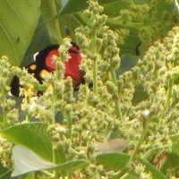 Macaranga Capensis             Wild Poplar       Wildepopulier               7-13 m       (20)    SA Tree no 335