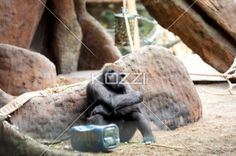 tired ape - Ape taking a nap after playing with plastic container in a zoo.