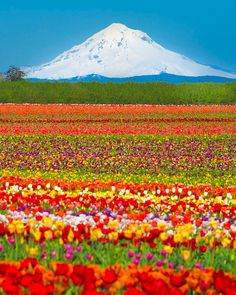 Photograph of a field of spring tulips below a white snowy mountain – Mt. Hood, in the Oregon Cascades. The tulip farm is a blaze of reds,