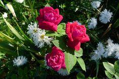 'Dupuy Jamain ' Medium red Hybrid Perpetual Rose Photo