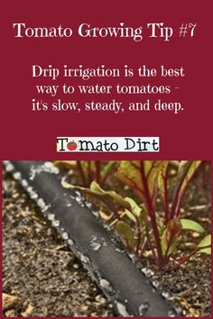tomato plants – the basics Tomato Growing Tip drip watering is the best way to water tomato plants. It's slow, steady, and deep.Tomato Growing Tip drip watering is the best way to water tomato plants. It's slow, steady, and deep. Growing Tomatoes Indoors, Growing Tomatoes In Containers, Small Tomatoes, Growing Vegetables, Grow Tomatoes, Growing Grapes, Dried Tomatoes, Growing Plants, Cherry Tomato Plant