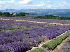 Lavender on the Albion Plateau.
