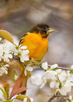 Baltimore Oriole by Steve Gilchrist, via Flickr