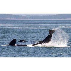 """goodnight wonderful photograph by Capt. James Mead Maya #blackfish #seaworld #killerwhales #orcas #killerwhale #captivitykills #dolphins…"""