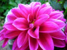 Afbeeldingsresultaat voor roze bloem