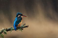 The kingfisher didn't seem to mind the rain at all