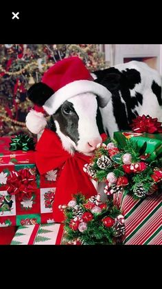 And just 1 more day of online shopping time! Which lucky people will find a cows under their tree this Christmas! Cute Baby Cow, Baby Cows, Cute Cows, Cute Funny Animals, Cute Baby Animals, Farm Animals, Cow Pictures, Baby Animals Pictures, Cute Animal Pictures