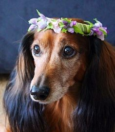Dachshund with a wreath of flowers