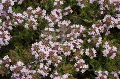 Wild Thyme...A magical MAGICAL plant