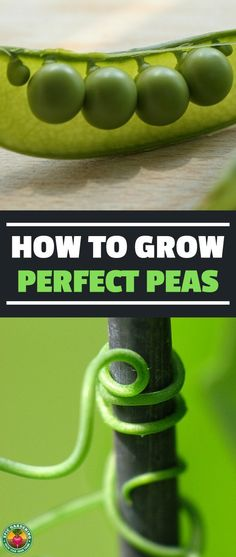 Learning how to grow peas is one of the best things you can do as a gardener. These versatile, delicious veggies are huge producers and extremely healthy. #gardening #peas #vegetablegardening