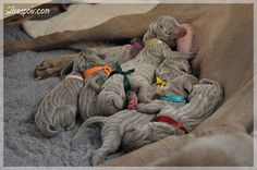 Pinner said: For those who have never seen the beautiful stripes of a newborn Weimaraner... then they go away. photo from Eva Humpolcová