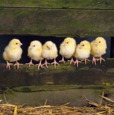 Cute little baby chicks!