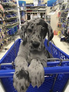 """Exceptional """"great dane pups"""" detail is available on our site. Read more and you. - Exceptional """"great dane pups"""" detail is available on our site. Read more and you wont be sorry - Cute Little Animals, Cute Funny Animals, Great Dane Puppy, Baby Great Dane, Cute Dogs And Puppies, Doggies, Cute Creatures, Dog Breeds, Dog Lovers"""